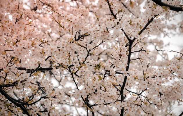 อโกด้า แนะนำ 6 สถานที่ชมดอกซากุระบานรับฤดูใบไม้ผลิ